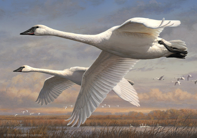 2016 federal duck stamp - trumpeter swans