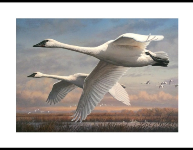 Trumpeter Swans on the Duck Stamp